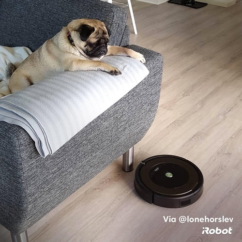pug on couch with roomba on floor