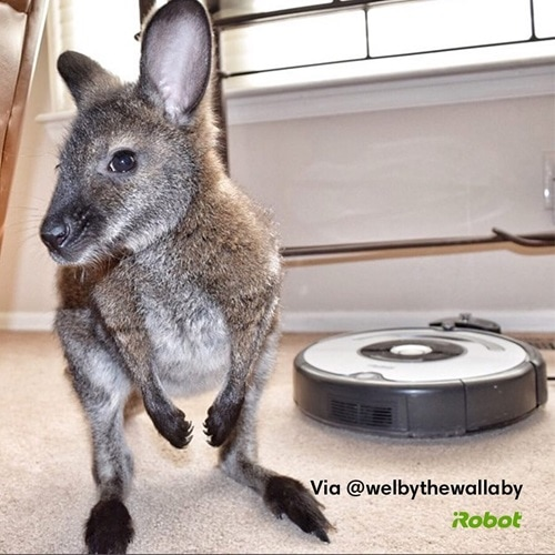 wallaby and roomba